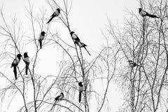 janvier L'hiver Une volée des oiseaux sur les branches d'un bouleau pie Oiseau avec le plumage noir et blanc images libres de droits