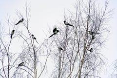 janvier L'hiver Une volée des oiseaux sur les branches d'un bouleau pie Oiseau avec le plumage noir et blanc photographie stock libre de droits