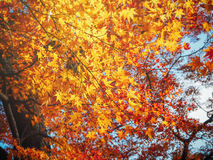 Jaoan autumn in forest Royalty Free Stock Photography