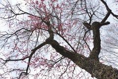 Japão Sakura Imagem de Stock Royalty Free