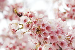 Japão Sakura Fotos de Stock