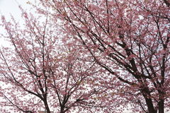Japão Sakura Imagens de Stock