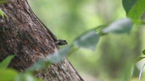 Japalura de Swinhoe en el árbol, especie de los swinhonis de Japalura endémica a Taiwán metrajes
