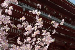 Japan #71. Pale pink Cherry blossoms with the austere Five Storied Pagoda at the Senso-Ji Temple in Tokyo, Japan, in the background Royalty Free Stock Image