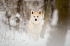 Japan Akita Inu Dog Royaltyfria Foton