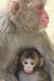 Japan ape two. Animal, ape, mammals, wildlife, sightseeing light, the family, New Year cards, Japan ape two, Oita Prefecture, Oita city, Shanghai, the Takasaki Stock Photos