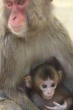Japan ape two Stock Image