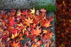 Japan autumn leaves. Autumn leaves in Japan - red momiji leaves (maple tree) in Kyoto stock photos