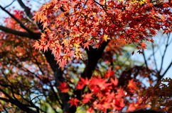 Japan autumn leaves Stock Image
