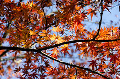 Japan autumn leaves Royalty Free Stock Photos