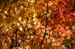 Japan autumn leaves Royalty Free Stock Images