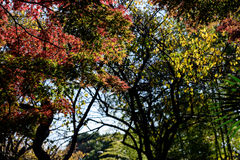 Japan autumn leaves Stock Images