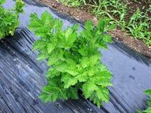 Japan av grönsaker namngav Ashitaba Arkivbilder