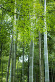 Japan Bamboo with Green Maple in Arashiyama Park. Japan Bamboo with Green Maple in Arashiyama Park for Nature Background Royalty Free Stock Photos