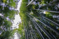 Japan bamboo. Japan tall bamboo in Kyoto Royalty Free Stock Photo