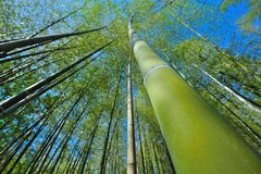 Japan Bamboo Tall Wide Stock Images