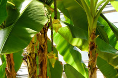 Japan banana tree Royalty Free Stock Photos