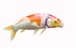 Japan Carp fish. Had wound on the head in white background Stock Photos