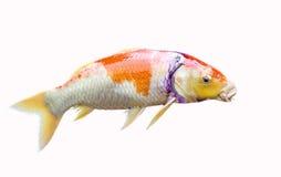 Japan Carp fish Stock Photos