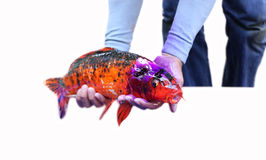 Japan Carp fish. Had wound on the head in white background Stock Photo
