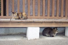 Japan cats. Sleepy tabby cats at shrine in tokyo japan Stock Photography