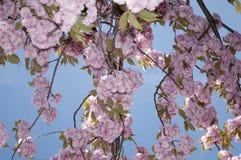 Japan cherries Stock Image