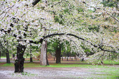 Japan cherry blossom Stock Image