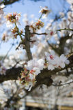 Japan cherry blossom. A cherry blossom in the spring, Japan Royalty Free Stock Photography