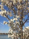 Japan Cherry Blossom i Washington DC med sikt på den tidvattens- handfatet Arkivfoto