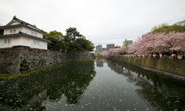 Japan Cherry Blossom (Sakura) Royaltyfri Bild