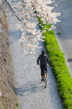Japan cherry blossom, Sakura, which will fully blooming in summe Stock Photos
