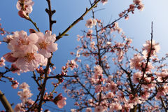 Japan Cherry Blossom During Springtime Royaltyfri Fotografi