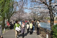 Japan cherry blossom Stock Image
