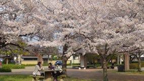 Japan Cherry Blossom Tree Royalty Free Stock Photography