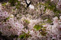 Japan Cherry Blossoms Arkivfoto