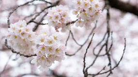 Japan cherry blossoms in spring season at Japan Royalty Free Stock Photography