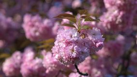 Japan cherry branch with blooming flowers. Blurred cherry blossom tree on the background. stock footage
