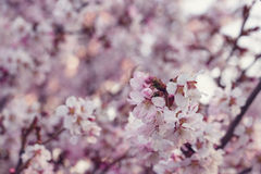 Japan cherry sakura flowers in bloom Stock Image