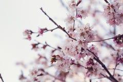 Japan cherry sakura flowers in bloom Royalty Free Stock Images