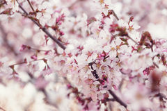 Japan cherry sakura flowers in bloom Stock Photo