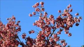 Japan Cherry Tree Blossoms stock video
