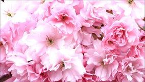 Japan Cherry Tree Blossoms lager videofilmer
