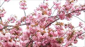 Japan Cherry Tree Blossoms arkivfilmer