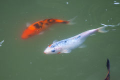 Japan fish call Carp or Koi fish colorful, Many fishes many colo Royalty Free Stock Photo
