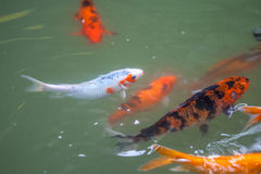 Japan fish call Carp or Koi fish colorful, Many fishes many colo Stock Photos