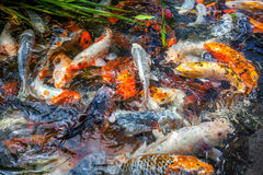 Japan fish call Carp or Koi fish colorful, Many fishes many colo Royalty Free Stock Images