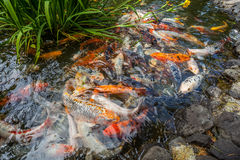 Japan fish call Carp or Koi fish colorful, Many fishes many colo Stock Photography