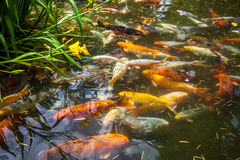 Japan fish call Carp or Koi fish colorful, Many fishes many colo Royalty Free Stock Photos