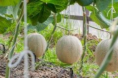 Japan gräsplanmelon i växthus royaltyfri fotografi