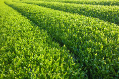 Japan green tea farm Royalty Free Stock Photo